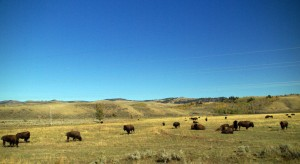 Herd-Of-Bison-Migrating