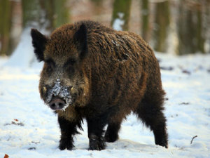 wild boar in winter snow